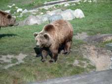 Bjørne i Scandinavisk Dyrepark