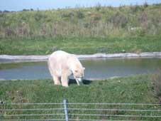 Isbjørn i Scandinavisk Dyrepark